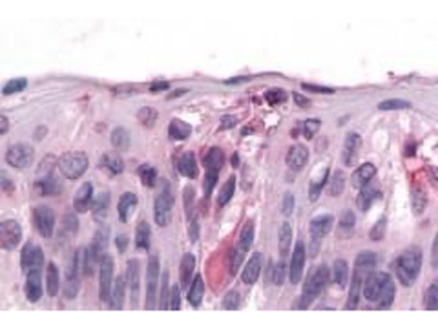 Anti-T1R3 antibody