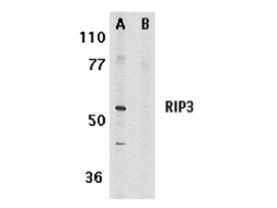 RABBIT ANTI RIP3 From Bio Rad Formerly AbD Serotec