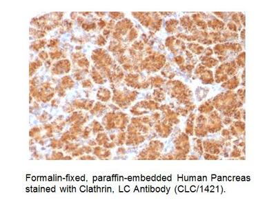 Anti-Clathrin Antibody (CLC/1421)