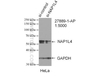 NAP1L4 Antibody