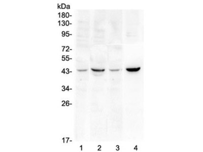 SOX3 Antibody