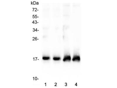 Atrial Natriuretic Peptide/Factor Antibody