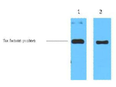 Immunotag™ Trx-Tag Monoclonal Antibody(5H9)