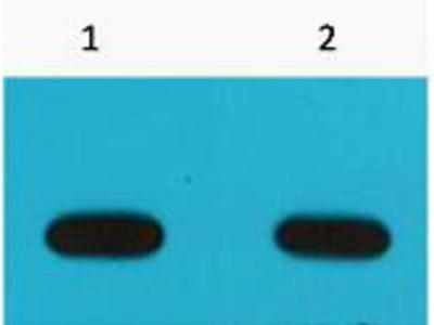 Immunotag™ Avi-Tag Monoclonal Antibody(6E3)