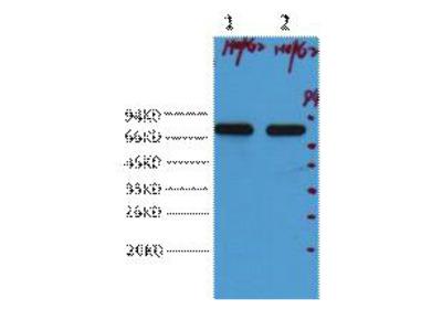 Immunotag™ AFP alpha 1 Fetoprotein Monoclonal Antibody(17C5)