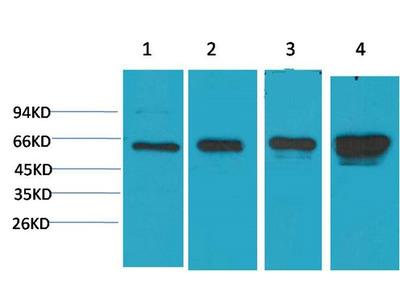 Immunotag™ AMPK α1 Monoclonal Antibody(5G11)