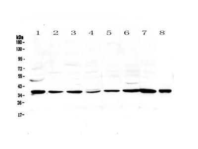 TPO Polyclonal Antibody