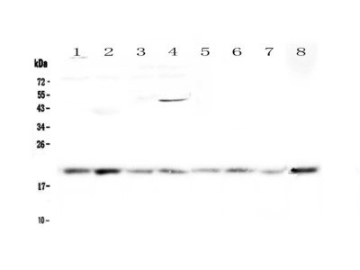 GADD45G Polyclonal Antibody