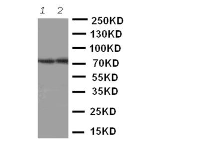 ABCG4 Polyclonal Antibody