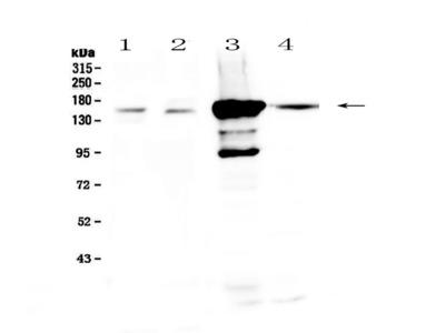 PRX Polyclonal Antibody
