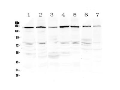 PER3 Antibody