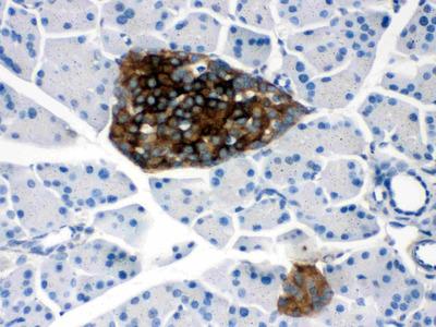 PrP Polyclonal Antibody