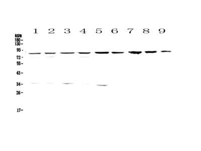 CD2AP Polyclonal Antibody