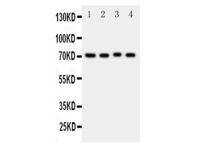 CD338 (ABCG2) Polyclonal Antibody