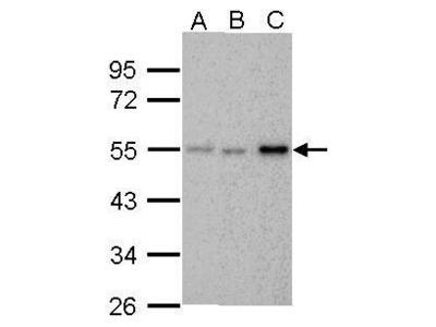 Anti-Chk1 antibody [6F5]