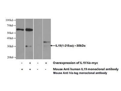 Mab Mo x IL-19 antibody