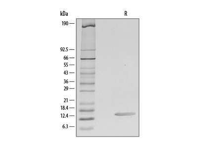 CCL28 Protein