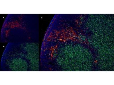 Anti-CD4 antibody [W3/25]