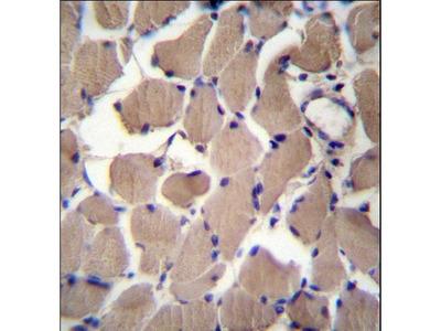 PACS2 Antibody