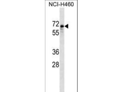 SNTB1 / A1B Antibody