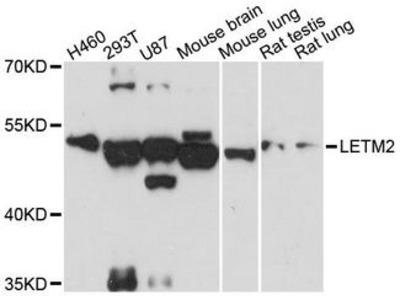 LETM2 Polyclonal Antibody