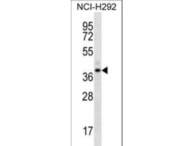 OR5I1 / OR5I Polyclonal Antibody