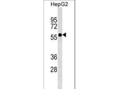 SSC4D / SRCRB4D Antibody