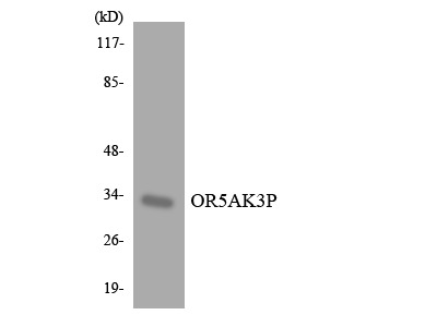OR5AK3P Antibody