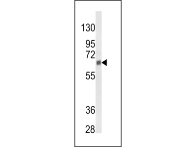CYP3A5 Antibody
