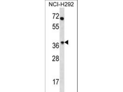 OR4N2 Polyclonal Antibody