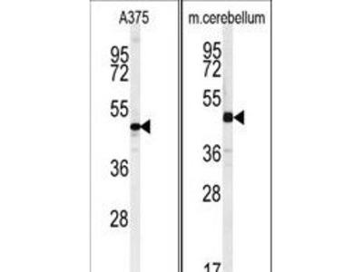 CACUL1 / Cullin Antibody