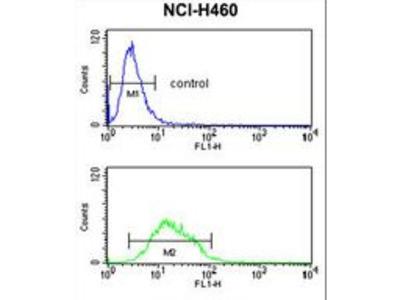 KCNJ2 / Kir2.1 Antibody