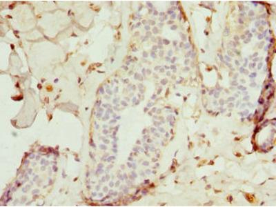 TRAF4 Antibody