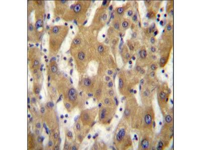 PAGE5 Antibody