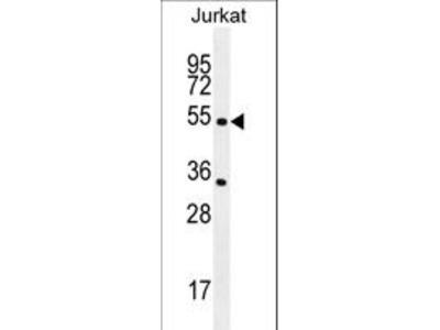 CHRNA2 Antibody