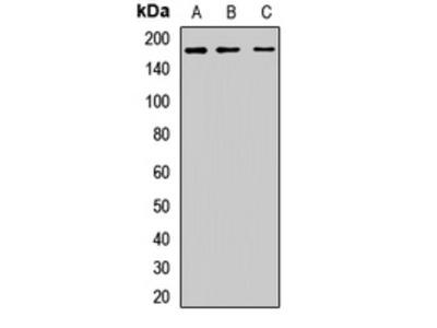 CLU1 / KIAA0664 Polyclonal Antibody