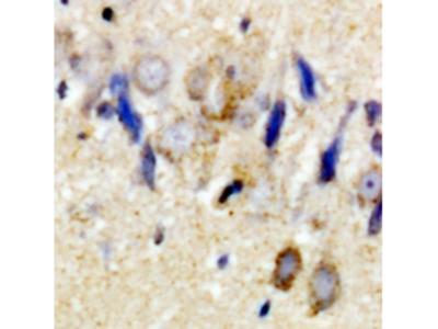 GPM6A / Glycoprotein M6A Antibody