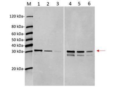 BTG3 Monoclonal Antibody