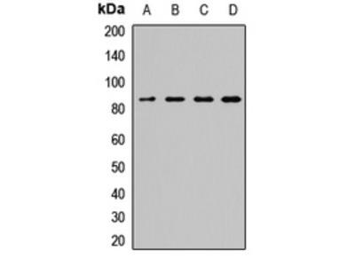SEC23A / COP II Antibody