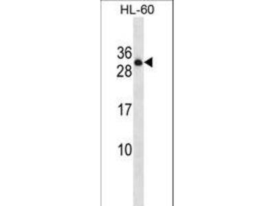 PTPRCAP / CD45 AP Antibody
