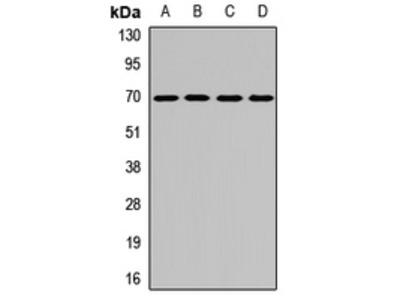 KLHL9 Antibody