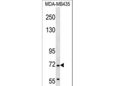 GRHL2 Antibody