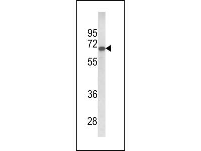 GPC4 / Glypican 4 Antibody