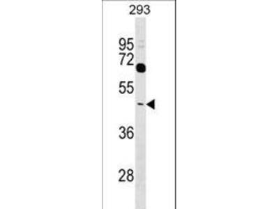 TAS2R38 Antibody