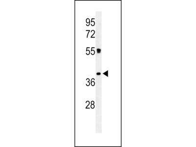 CD300LF / CD300f Antibody
