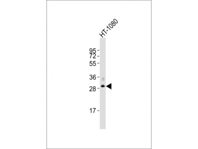FBXO45 Antibody