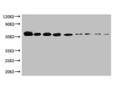 SUMO Tag Monoclonal Antibody