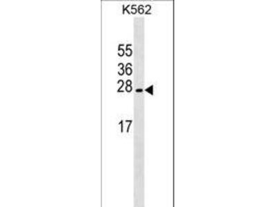 LZIC Antibody