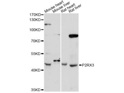 P2RX3 / P2X3 Antibody