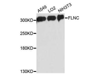 ABP-280 / FLNC Polyclonal Antibody